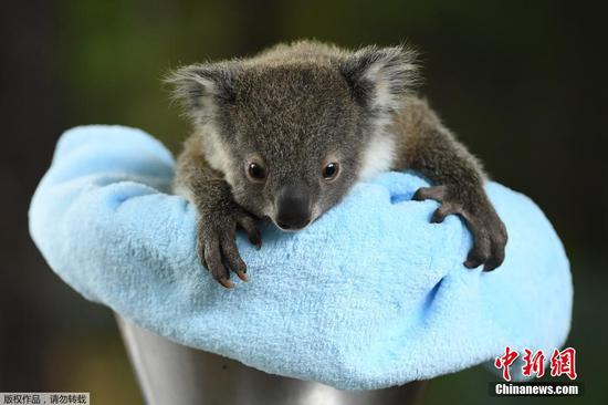 Koala joeys receive wellness check-up at Sydney Zoo