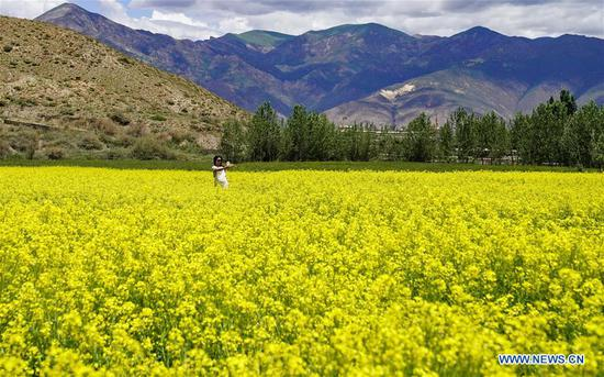 In pics: cole flower field in Tibet