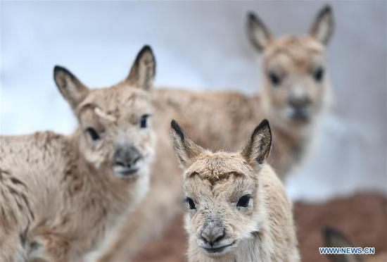Tibetan antelope babies rescued at Zhuonai Lake protection station in Qinghai