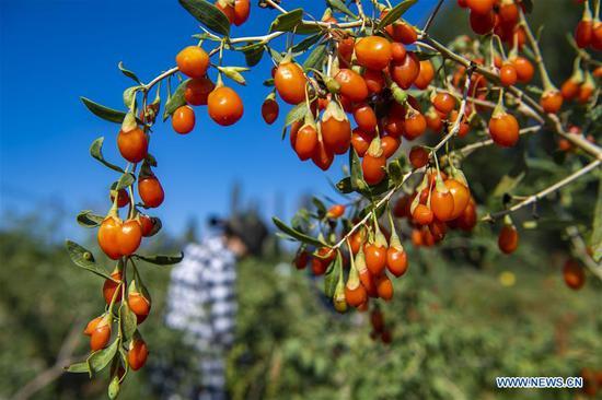 村民收获在中国景州县的枸杞浆果,中国的新疆