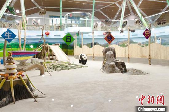 熊猫在中国东北的黑龙江庆祝12岁生日