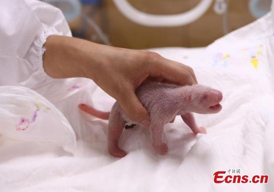 熊猫通过自然交配在韩国首次出生