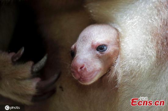 新加坡动物园欢迎濒临灭绝的幼树袋鼠