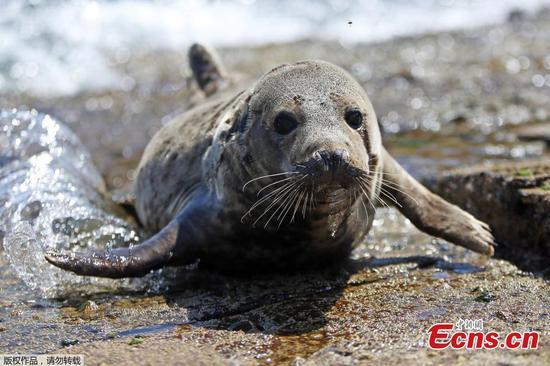 图片:英国罗宾汉湾附近海滩上的可爱海豹