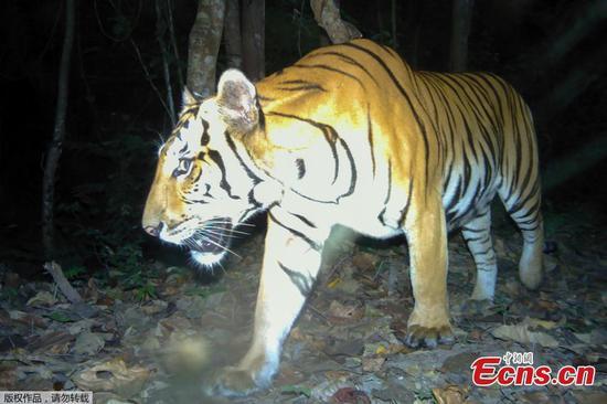在泰国发现新的老虎的可能性提高了保护希望