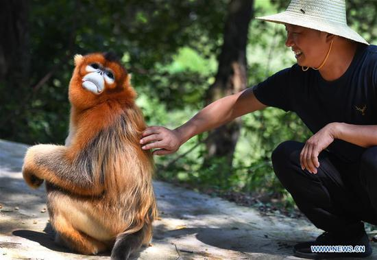 People live in harmony with golden snub-nosed monkey in Yangxian County, Shaanxi
