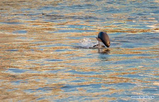 Finless porpoises seen in Yangtze River in Yichang, Hubei Province