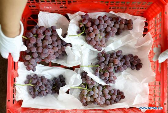 Grape industry in Liaoning helps increase income of villagers, attracts tourists