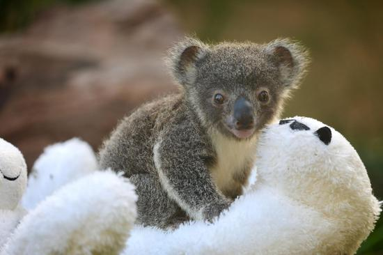 First koala joeys born since catastrophic bush fires