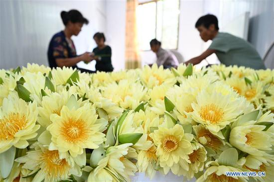 Villagers harvest lotus flowers in Guangxi