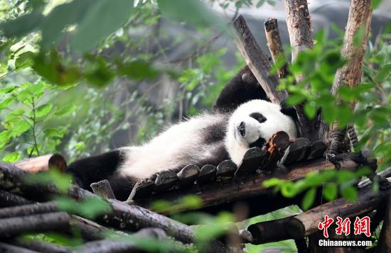 Giant panda enjoys leisure time in Chengdu