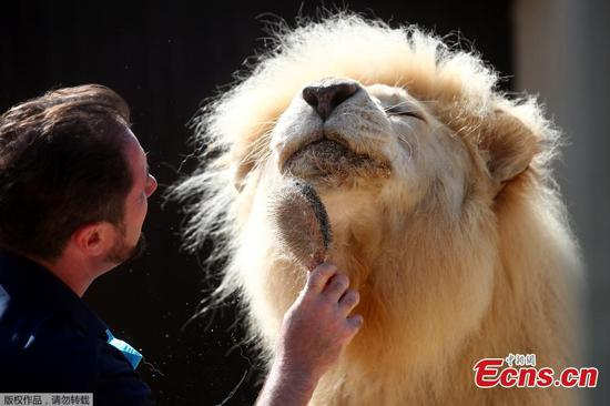 Lion's droppings help German circus weather coronavirus crisis