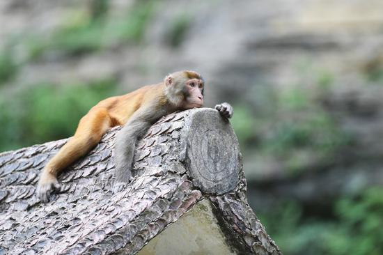 Wild macaques get comfy along Wentang River in Chongqing