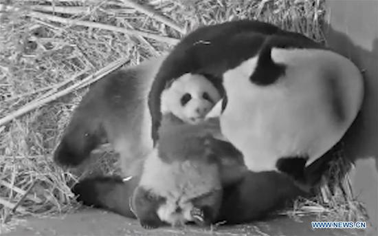 Giant panda cub born in Dutch zoo named Fan Xing