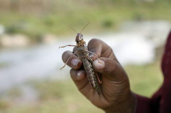 Chinese scientists find smelly locust compound behind swarms