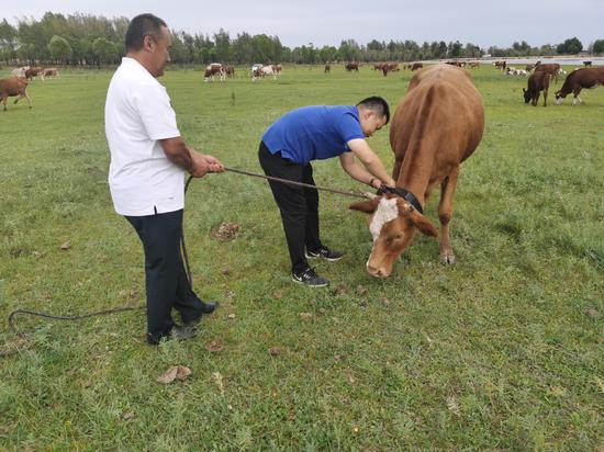 Bayanduuren, right, Party secretary of Shavartai village, helps herdsman Otgonbileg put a black collar on livestock. The collars have chips that can transmit and receive location signals. [Photo by Khangai/For chinadaily.com.cn]