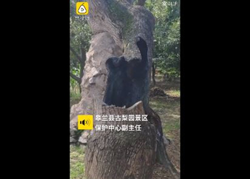 407-year-old tree hollowed out by fire still able to yield fruit