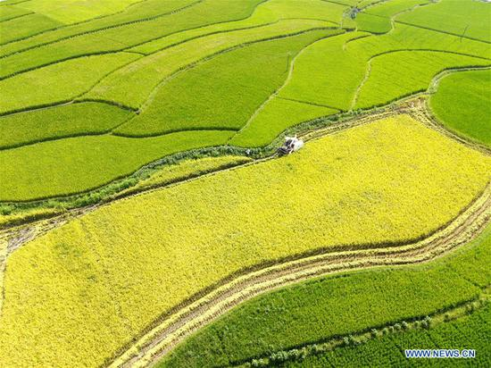 Farmers harvest rice in Shuangfeng County, China's Hunan
