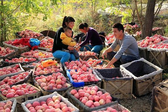 Farmers collect apples in Ansai district of Yan'an. Apple cultivation plays an important role in the city's poverty alleviation efforts. [Photo provided To China Daily]