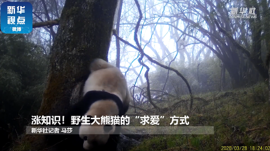 Camera captures wild giant pandas urinating to attract spouses