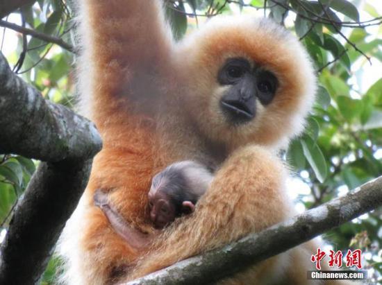 长臂猿幼崽在华南岛上发现