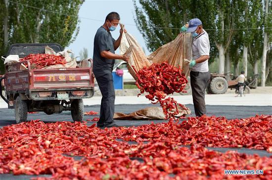 新疆农民收获辣椒