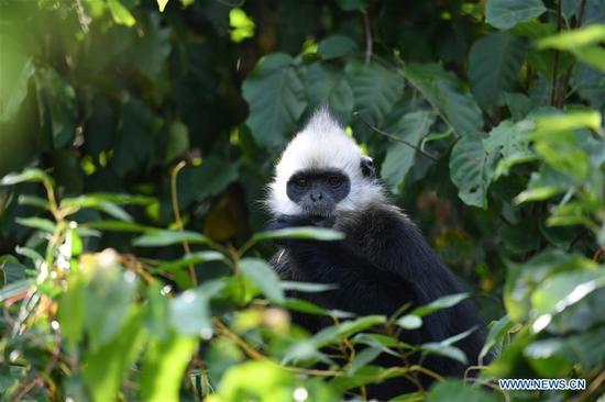 濒临灭绝的猴子在中国喀斯特村庄寻回天堂