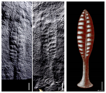 Chinese, U.S. scientists find 550 million years ago 'leaves' in Central China's Hubei