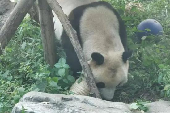 Nothing wrong with roly-poly panda, zoo says