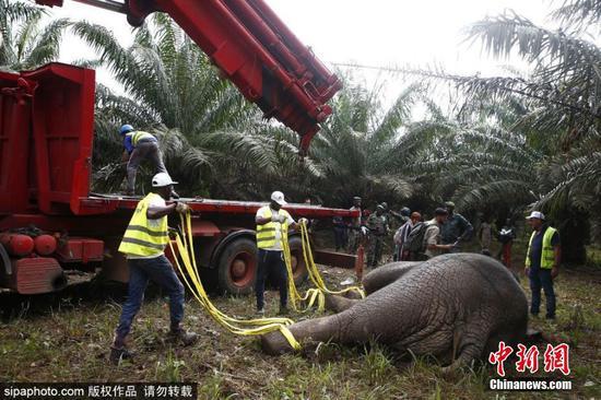 象牙海岸迁移大象以拯救人口减少