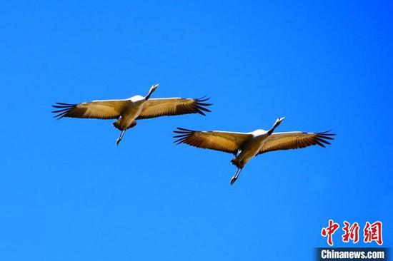 Migratory birds flock to Xinjiang's wetland in autumn