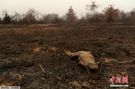 野火烧毁了巴西最大的湿地,杀死了成千上万的野生动物