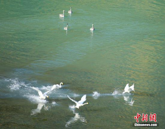 In pics: Swans at Kanas scenic spot in NW China's Xinjiang