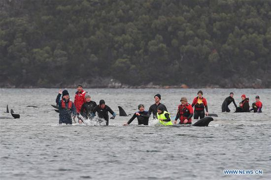 Rescuers race to save 270 stranded pilot whales in Australia as one third of them die