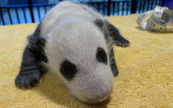 This is a photo of the giant panda cub posted by the Smithsonian's National Zoo on its official website on Sept. 21, 2020. (Credit: Smithsonian's National Zoo)