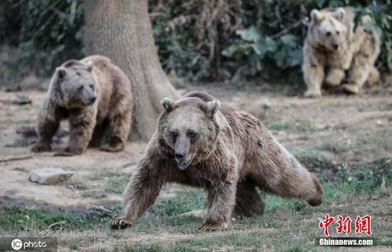 Bears receive nutrition programs ahead of hibernation in Turkey