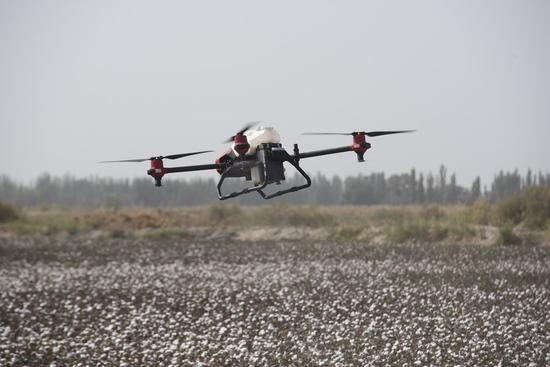 A drone works in the cotton field in Yuli county of northwest China's Xinjiang Uygur Autonomous Region, Sept. 23, 2020. (Xinhua/Li Zhihao)