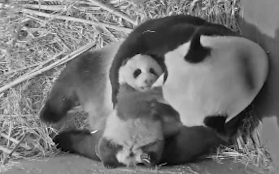 An image grabbed from a video provided by the Ouwehands Zoo shows giant panda cub Fan Xing and its mother Wu Wen at Ouwehands Zoo in Rhenen, the Netherlands, in July, 2020. (Xinhua)