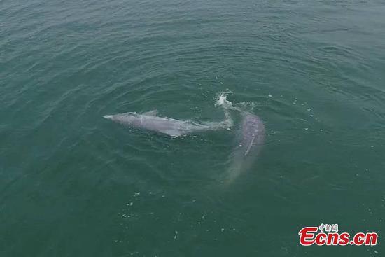 在广西三娘湾看到的中国白海豚的求爱