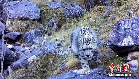 Snow leopard spotted in SW China