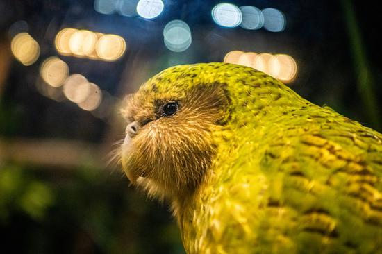 Kakapo crowns New Zealand's Bird of the Year for 2020
