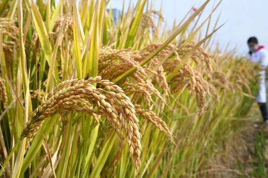 Italian rice research center focuses on developing better strains of rice