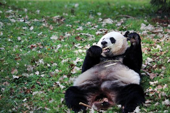 U.S. National Zoo: We hope to keep pandas longer
