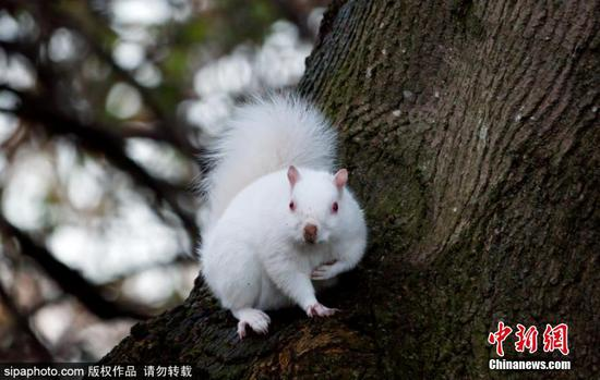 Rare albino squirrel spotted in UK