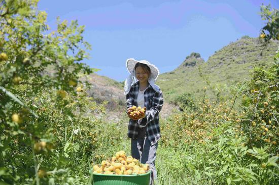 A farmer harvests cili, or chestnut rose, at a production base in Anlong county, Guizhou province. The county introduced cili to fight rocky desertification. (Liu Chaofu/For China Daily)