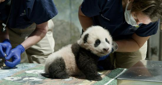 """Undated photo taken in November 2020 shows the giant panda cub """"Xiao Qi Ji"""" at Smithsonian's National Zoo in Washington, D.C., the United States. (Smithsonian's National Zoo/Handout via Xinhua)"""