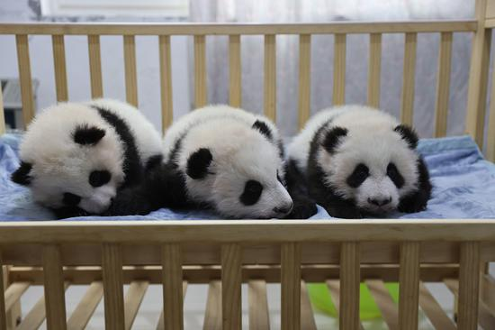 Three female pandas in Xi'an trun 100 days