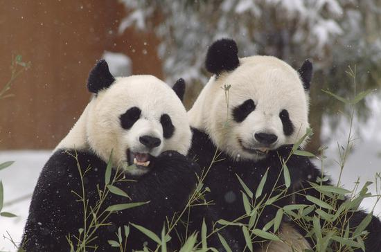 2020年12月7日发布的照片显示了位于美国华盛顿特区史密森尼国家动物园的大熊猫Mei Xiang(L)和Tian Tian。 (由史密森尼国家动物园提供)
