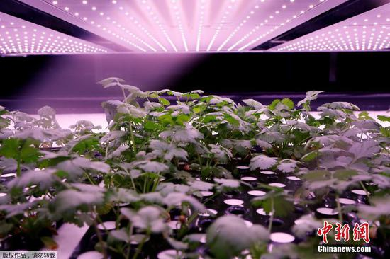 Giant vertical farm opens in Denmark