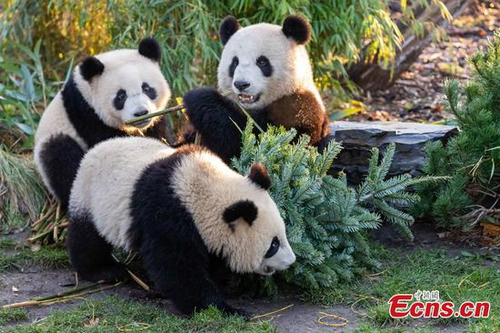 Panda family celebrate Christmas at Berlin Zoo